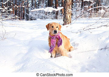 The dog breed golden retriever wearing a scarf in the winter in park