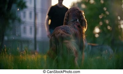 The dog breed irish setter running away his host playing on...