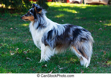 dog breed Sheltie - The dog breed Sheltie on a green grass