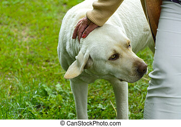 The dog is a labrador. An adult dog sits next to the owner