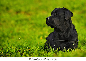 Labrador Retriever lying in bright green grass