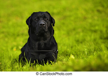 black Labrador Retriever lying
