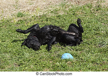 The dog is lying in the grass after bathing.
