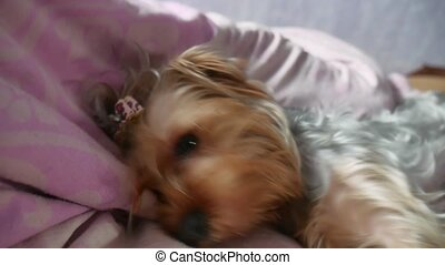 the dog is sleeping on the bed. Yorkshire Terrier dog...