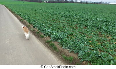 The Dog is walking in the Field