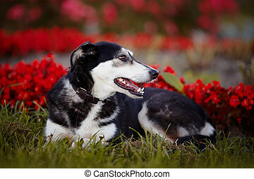 The dog lies on a grass against red flowers.