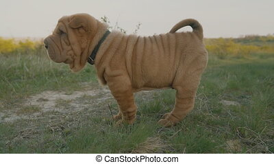 The dog of the breed of shar pei is standing on his feet