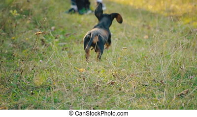 the dog of the Dachshund breed runs - Dachshund dog runs in...