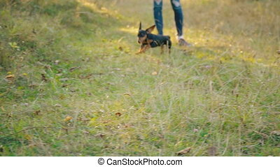the dog of the Dachshund breed runs