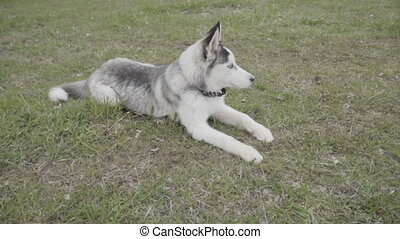 The dog of the Husky breed lies on the ground
