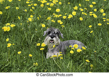The dog on the grass and dandelion