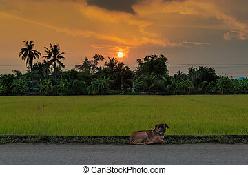 The dog on the road and the background sunset behind paddy fields and trees.