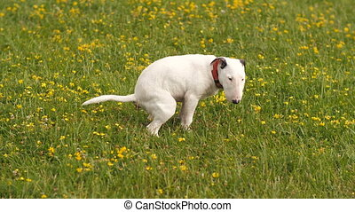 The dog poos on the grass - Bull terrier making a poop on...