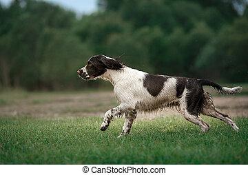 the dog runs across the field. Springer Spaniel plays in nature. Fog, morning.