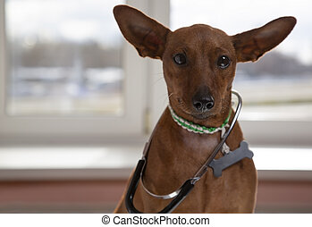 The dog weighs with a stethoscope. Miniature Pinscher