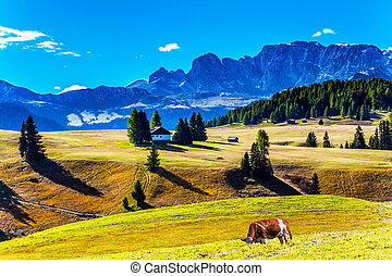 Fat cows graze on grassy hills