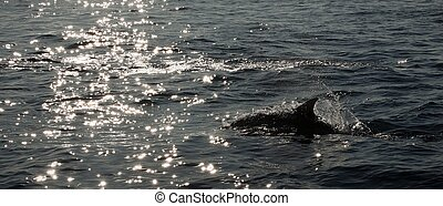 The dolphin comes up from water. The Long-beaked common ...