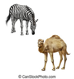 The domestic camel standing and zebra bent down eating grass...