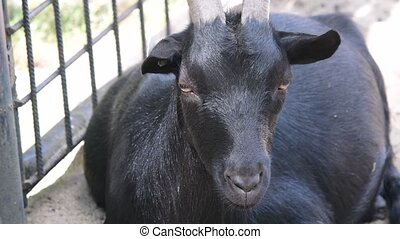 The domestic goat Capra aegagrus hircus is a subspecies of...