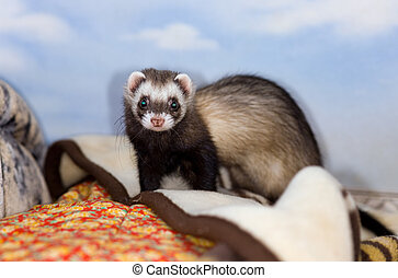 polecat - The domestic polecat plays on sofa in house