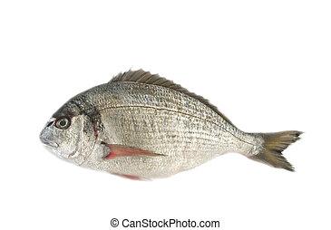 dorado - the dorado fish, isolated on white