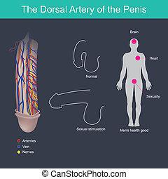 The Dorsal Artery of the Penis.