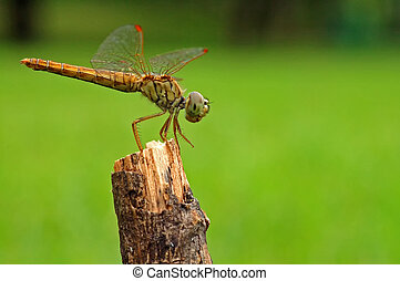 The dragon fly resting on a straw with green background
