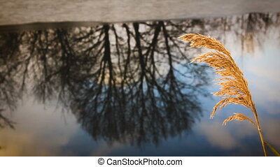 the dried stalk of reeds on the shore of a freezing lake