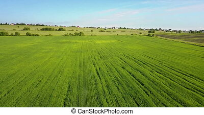 The drone flies along the field with green ears of wheat to summer sunny day against the background of the blue sky with white clouds.
