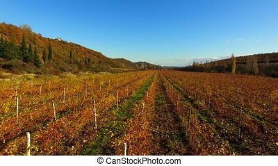 The drone flies over the autumn fields of grapes