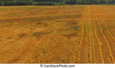 The drone flies over the field, rows of harvested wheat and bales of hay