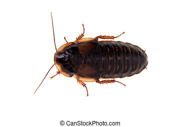 The Dubia roach or Argentinian wood roach isolated on white...