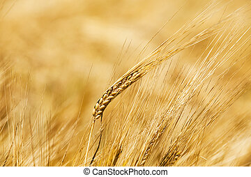 the ripened cereals - the ears of the ripened cereals ...