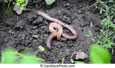 The earthworms lie on ground