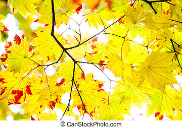 easy picture beautiful maple autumn landscape background