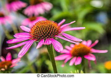 The Echinacea