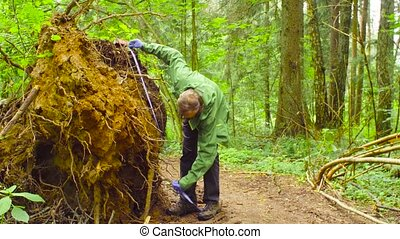 The ecologist in a forest measuring a tree trunk