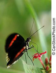 ecuadorian butterfly
