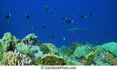 Whitetip Reef Sharks on the edge of a coral reef with school of Fusilier, Damselfish and Butterflyfish