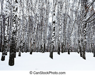 the edge of snowy birch woods