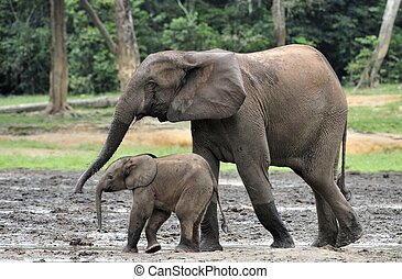 The elephant calf and elephant cow The African Forest Elephant, Loxodonta africana cyclotis. At the Dzanga saline (a forest clearing) Central African Republic, Dzanga Sangha