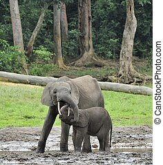 The elephant calf is fed with milk of an elephant cow The African Forest Elephant, Loxodonta africana cyclotis. At the Dzanga saline (a forest clearing) Central African Republic, Dzanga Sangha