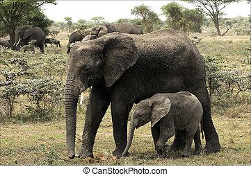 The elephant calf with mum - an elephant cow.
