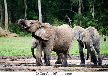 The elephant drinks.