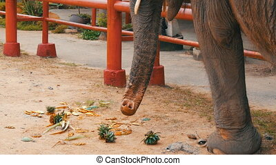 The elephant eats pineapples on ground with the help of a...