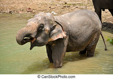 Elephant - The elephant trunk can hold about four litres of...