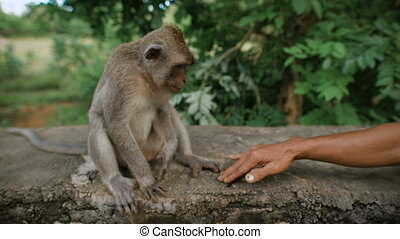 The emerging friendship between a man who gives his tanned arm to the monkey. Monkey sitting on a gray stone reluctant to take the man's arm in her hand and then leg