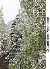 Return of winter, snowfall. Green large leaves of birches covered with a thick layer of snow