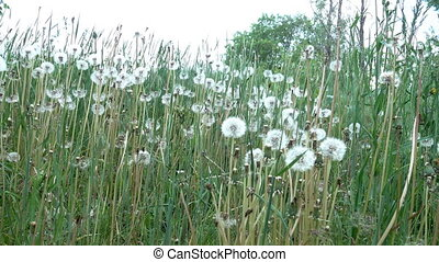 White heads of dandelions