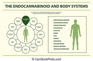 The Endocannabinoid and Body Systems horizontal infographic